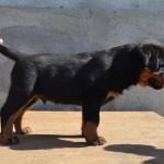 franco puppy boy 1