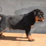 franco puppy boy