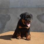 franco puppy boy 3