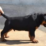 franco puppy boy 5