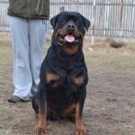 Black-Rott Franco 28 months-