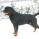 Black-Rott Baloo 24 months