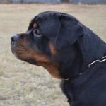 Black-Rott Jago 14 months