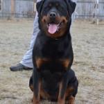 Black-Rott Hungary 16 months