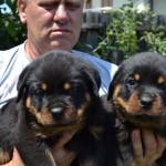 Black-Rott Baloo puppies 1