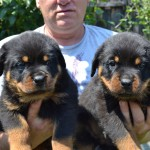 Black-Rott Baloo puppies