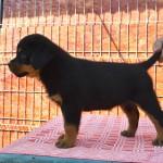 Black-Rott puppies female 1