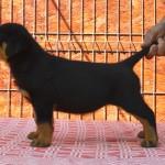 Black Rott puppies female 4