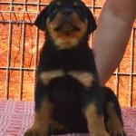 Black Rott puppies female 5