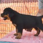 black-Rott puppies male3