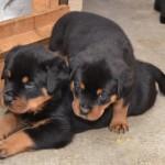 Franca+janka puppies